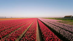 Aerial view of Dutch Tulip field from the Netherlands Stock Footage