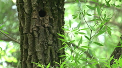 The woodpecker is feeding his chicks Stock Footage