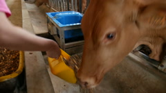 Brown cow, red cattle eating cattle feed  in the barn, South Korea Stock Footage