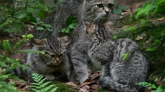 European wild cat female with two kittens in forest - stock footage