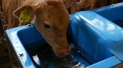 Calf drinking water in the barn, South Korea Stock Footage