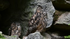 Eurasian eagle owl (Bubo bubo) couple sitting on rock ledge in cliff face Stock Footage