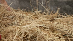 Feed brown cow, red cattle hay, South korea Stock Footage