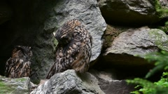 Eurasian eagle owl couple in cliff face preening feathers Stock Footage