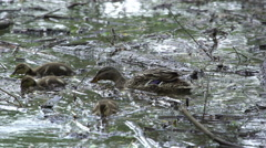 Mallards Family Swimming In Water, Duck With Ducklings Stock Footage