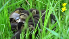 Small ducklings sleeping in a sunny rushes Stock Footage