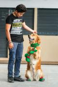 Golden Retriever Dressed In Elf Stock Photos