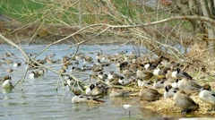 Wintering grounds of Duck (Pintail) Stock Footage