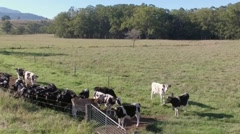 Hovering above Inquisitive cows Stock Footage