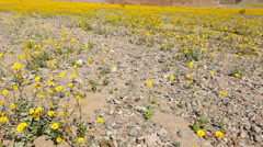 Slow Pan Up - Death Valley Desert Flower Super Bloom - Spring Stock Footage