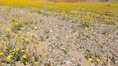 Slow Pan Up - Death Valley Desert Flower Super Bloom - Spring Stock Footage