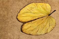 Yellow Fallen Camels Foot Leaf with Brown Edges - stock photo