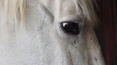 Close up shot from a Lipizzaner horse, eating Stock Footage