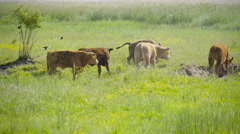 Cows runnning and jumping in the grassfield Stock Footage