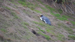 Yellow Eye Penguin Resting On Ground Stock Footage