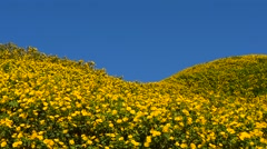 Field of Mexican Sunflower in Mae Hong Son province, Thailand. Stock Footage