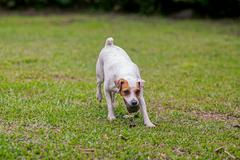 Jack Russell Terrier Walks In The Park Stock Photos