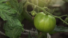 Green homegrown tomato in vegetable garden Stock Footage