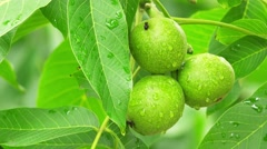 Common walnut in growth - stock footage
