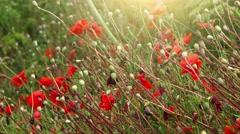Red poppy flower field with sunlight Stock Footage