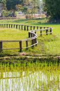 Rice field. Zigzag shaped wooden fence. Cambodia. - stock photo