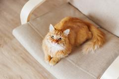 Cute ginger cat lying on chair. Fluffy pet comfortably settled to sleep. Cozy - stock photo