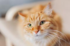 Close up portrait of cute ginger cat. Fluffy pet looks tired. Cozy home backg - stock photo