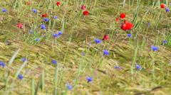 Farmland with Barley, Hordeum vulgar L on the island of Gotland in Sweden Stock Footage