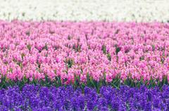 Hyacinth. Beautiful colorful pink, blue and white hyacinth flowers in spring Stock Photos