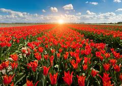 Tulips. Beautiful colorful red flowers in the morning in spring , vibrant flo - stock photo