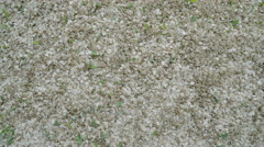 Lots of elm seeds on the ground - stock footage