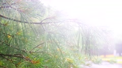 Heavy rain Thuja tree Stock Footage