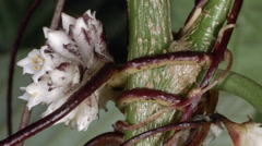 Time-lapse of Dodder (Cuscuta americana) a parasitic climber. - stock footage