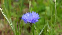 Blooming wild Field cornflower Stock Footage