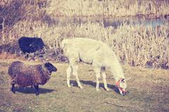 Vintage toned lama and sheep on a natural pasture. Stock Photos