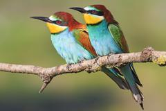 European bee-eater sit together - stock photo