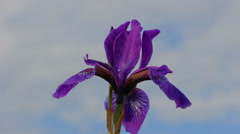 Wild purple iris sways in the wind Stock Footage