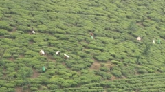 People collect tea at the plantation in Nuwara Eliya, Sri Lanka. Stock Footage