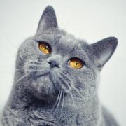 Gray shorthair British cat Stock Photos