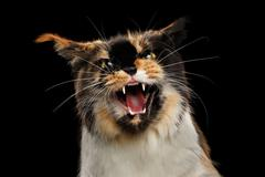 Aggressive Hiss Maine Coon Cat, Looking in Camera Isolated Black Stock Photos