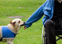 Dog removes the jacket to his disabled owner. Stock Photos