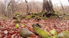 Tree Trunk Roots in the Ground Strewn With Withered Leaves in the Forest Stock Footage