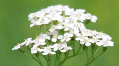 White little   flower Stock Footage