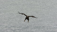 A Juvenile Bald Eagle In Flight Dives and Catches a Fish - stock footage