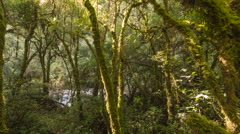 Morning sunlight streaming through mossy cloudforest. Time-lapse. Stock Footage