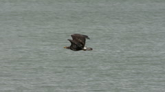 Juvenile Bald Eagle In Flight With Fish - stock footage