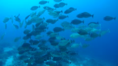 Large school of Bluespine unicornfish or short-nose unicornfish (Naso unicornis) Stock Footage