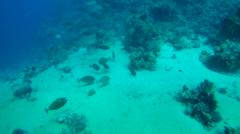 Large school of Bluespine unicornfish or short-nose unicornfish (Naso unicornis) Stock Footage
