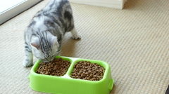 American Shorthair kitten eating dry cat food,slow motion Stock Footage