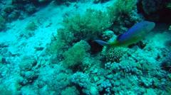 School of Golden Goatfish, goldsaddle goatfish or yellowsaddle goatfish Stock Footage